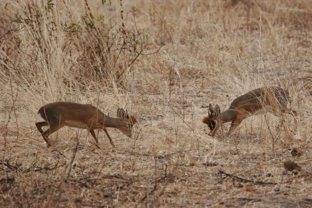 La safari in Tanzania dikdik