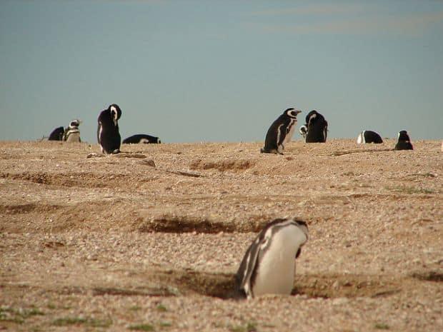Pinguini in Chubut