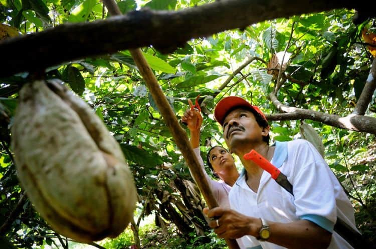 Cacao plantations under fire from Venezuelan government