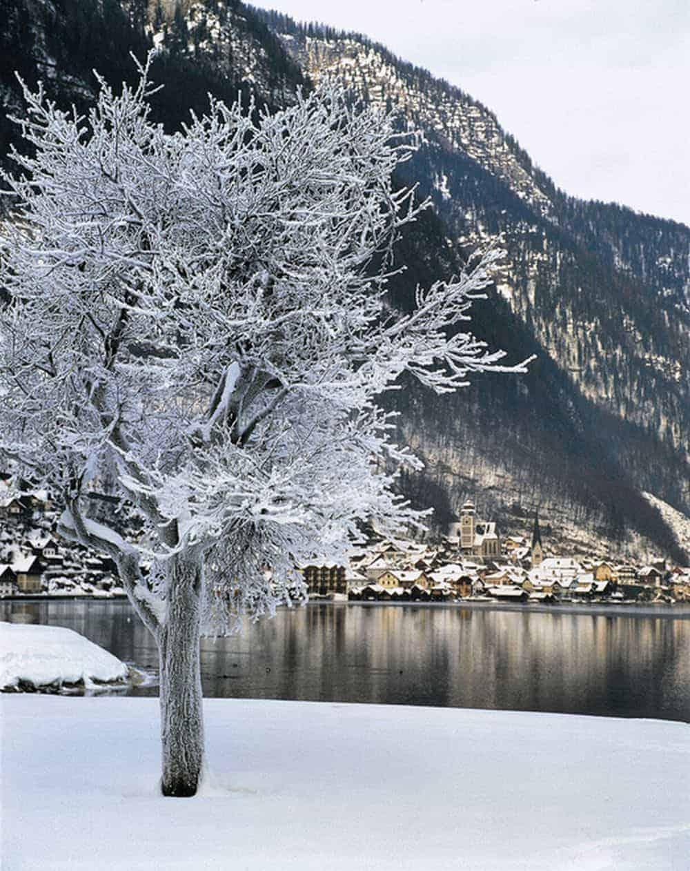 Copac înghețat lângă lacul Hallstatt, Salzkammergut © Österreich Werbung, Foto: Kneidinger