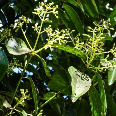 plante st lucia 6