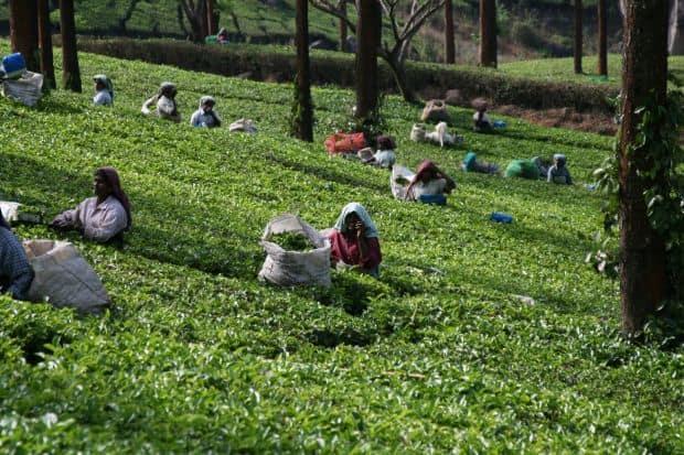 Plantatie de ceai in Munnar