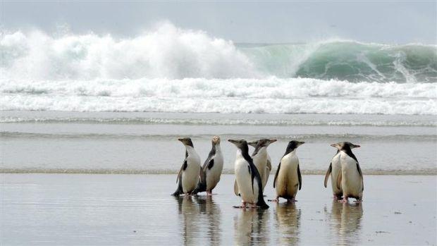 Pinguinii din peninsula Otago