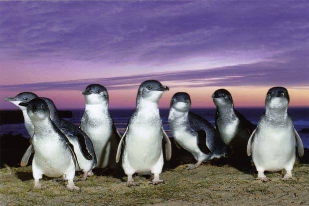 Pinguinii australieni de pe Insula Phillip