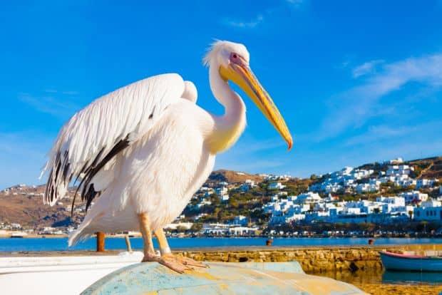 Vedeta insulei Mykonos: pelicanul Petros!