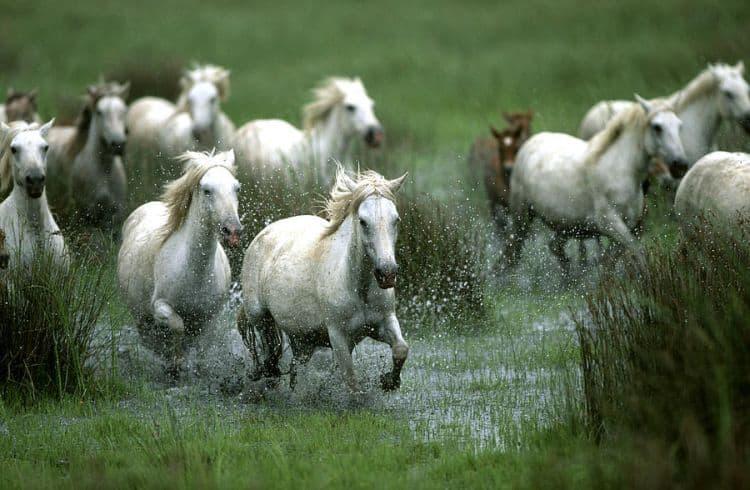 Superbii cai albi din Camargue