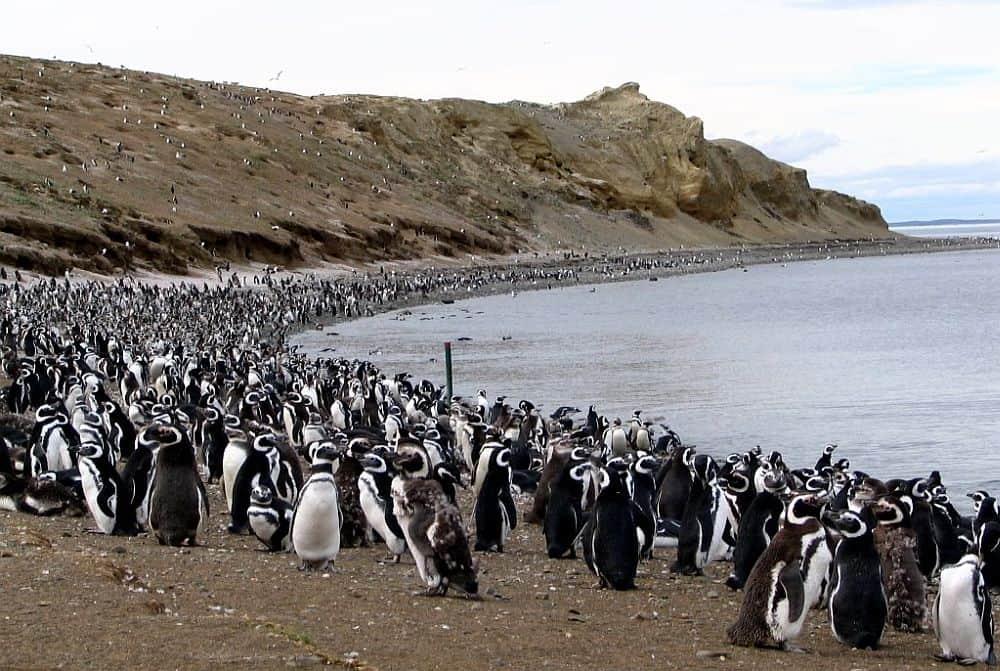 Colonia de pinguini din Isla Magdalena
